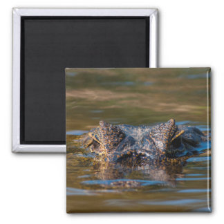 Caiman Lurking in the Water Magnet