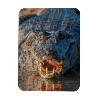 Caiman shows its teeth, Brazil Magnet
