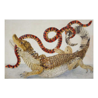caimans eating a snake poster