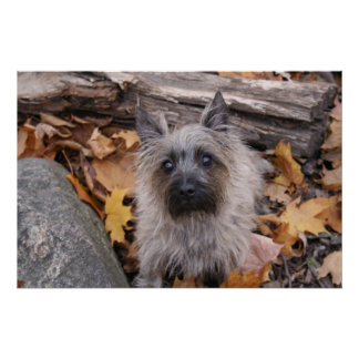 Cairn Terrier in Autumn Poster