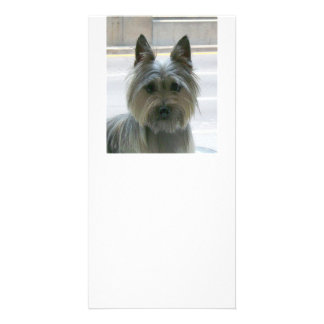 cairn terrier.png card