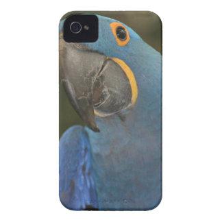 Caja de Blackberry del Macaw del jacinto