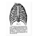 Caja torácica médica del vintage de la anatomía re postales