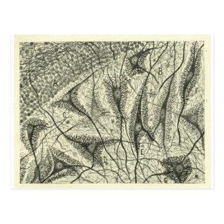 Cajal's Neurons 4 Postcard