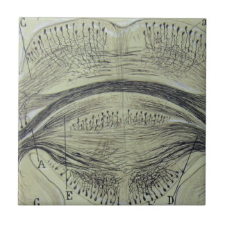 Cajal's spinal neurons - 5 ceramic tile