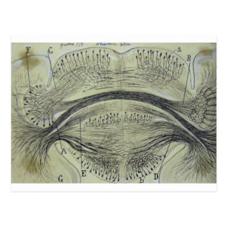 Cajal's spinal neurons - 5 postcard