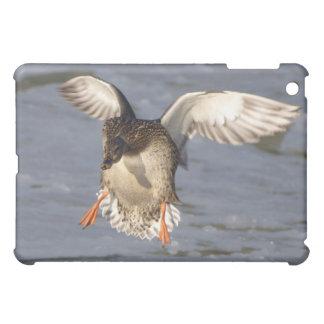 Cajas de la mota del pato del pato silvestre