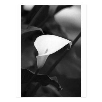 Cala-Lilly Flower Postcard