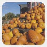 Calabazas en granja en otoño cerca de la pegatina cuadrada