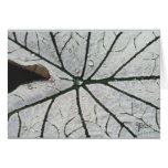 Caladium blanco y verde tarjetón