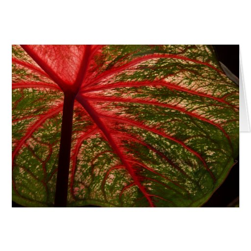 Caladium Leaf greeting card