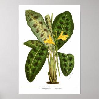 Calathea pardina poster
