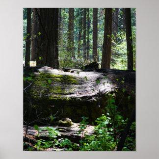 Calaveras Big Trees, Fallen Tree Poster