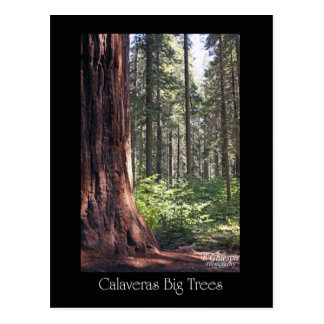 Calaveras Big Trees Postcard