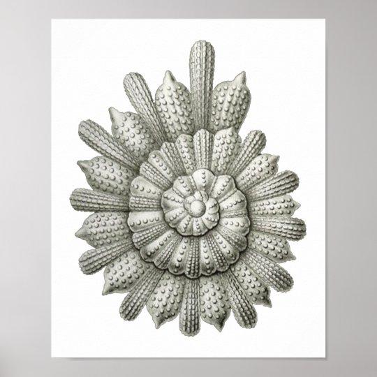 Calcarina clavigera Ernst Haeckel Fine Art Poster