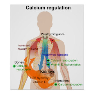 Calcium Regulation in the Human Body Chart Poster