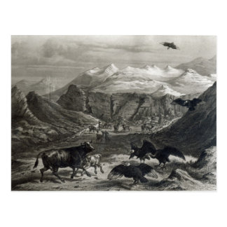 Calf being attacked by the Condors Postcard