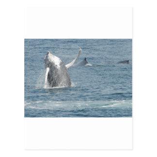 Calf breach postcard
