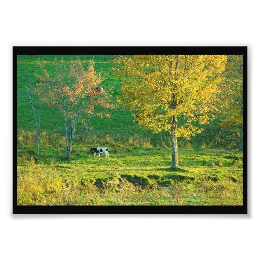 Calf in A Maine Farm Field, Fall