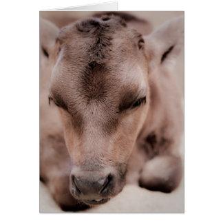 Calf Resting Greeting Card
