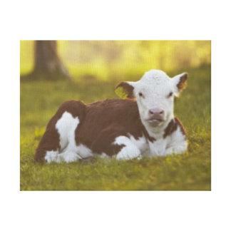 Calf resting in rural landscape. canvas print