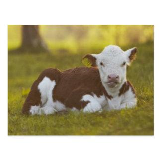 Calf resting in rural landscape. postcard