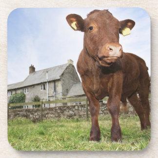 Calf standing in meadow drink coaster