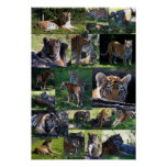 Calgary Zoo Tiger with Cubs Poster