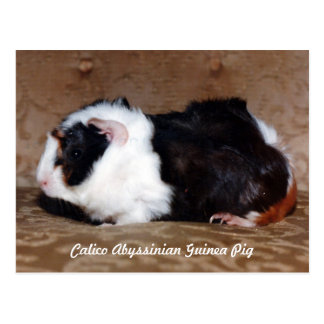 Calico Abyssinian Guinea Pig Postcard