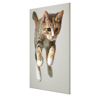 Calico Cat Jumping Canvas Print