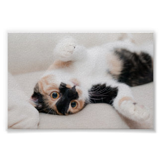 Calico Cat Laying on his back with paws up Poster
