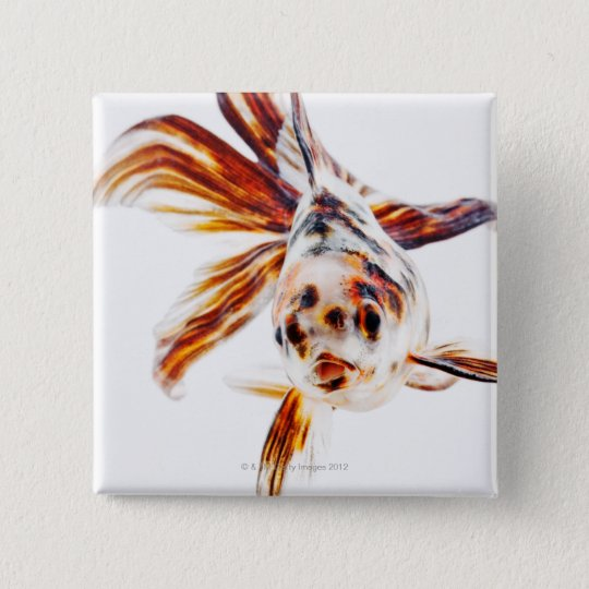 Calico Fantail Comet goldfish (Carassius Button