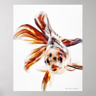 Calico Fantail Comet goldfish (Carassius Poster