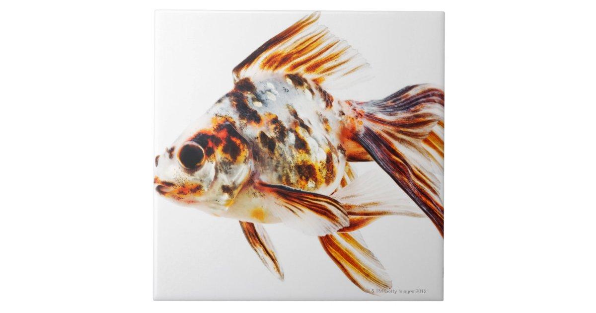 Calico Fantail Comet goldfish Ceramic Tile | Zazzle.com