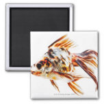 Calico Fantail Comet goldfish Magnet