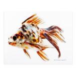 Calico Fantail Comet goldfish Postcard