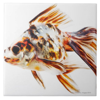 Calico Fantail Comet goldfish Tile