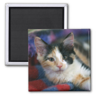 Calico Kitten, Plotting 2 Inch Square Magnet