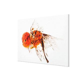 Calico lionhead goldfish (Carassius auratus). Gallery Wrap Canvas