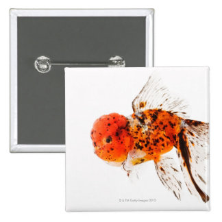 Calico lionhead goldfish (Carassius auratus). Pinback Button