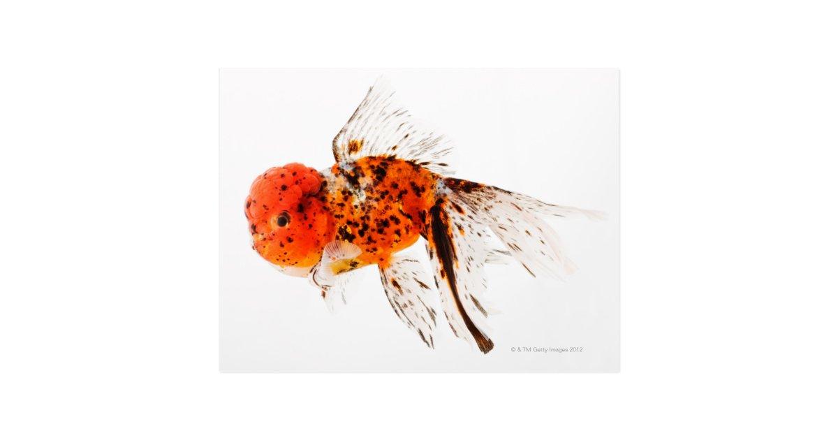 Calico lionhead goldfish (Carassius auratus) Postcard ...