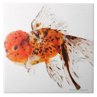 Calico lionhead goldfish (Carassius auratus) Tile