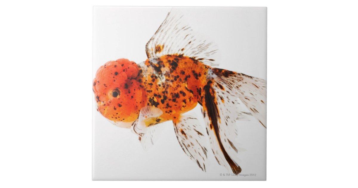 Calico lionhead goldfish (Carassius auratus) Tile | Zazzle.com