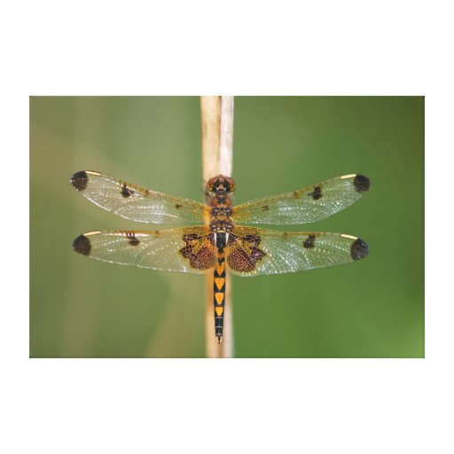 Calico Pennant Canvas Prints