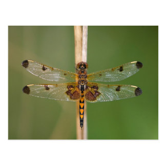 Calico Pennant Postcard