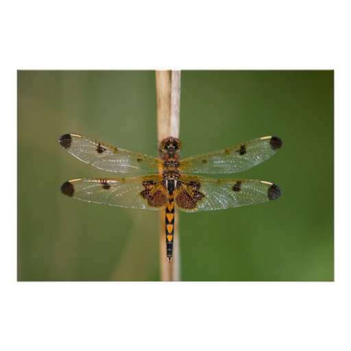 Calico Pennant Posters