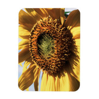 California, A Mammoth Sunflower (Helianthus) 1 Magnet