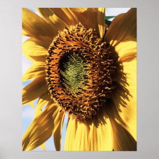 California, A Mammoth Sunflower (Helianthus) 1 Poster