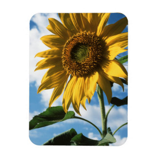 California, A Mammoth Sunflower (Helianthus) 2 Magnet