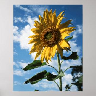 California, A Mammoth Sunflower (Helianthus) 2 Poster